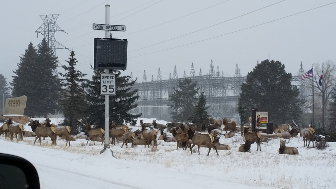 Plenty of elk to greet us as we entered Estes Park.